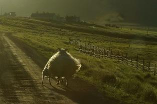 Abendstimmung mit Schafen...
