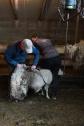 Barbara und Helgi bei der Schafschur