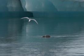 Begegnung Seehund Sterna Paradisea