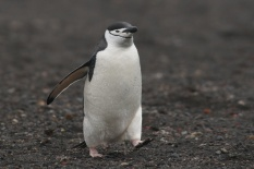 Zügelpinguin