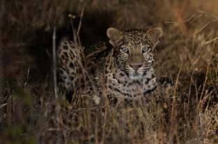 Bera Lodge Leoparden Safari