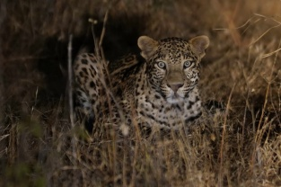 Bera Lodge Leoparden Safari